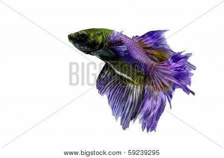 fighting fish betta on white background : Isolated