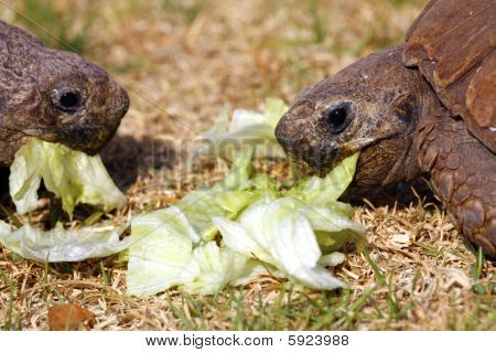 Two Tortoises Eating Lettuce Leaves