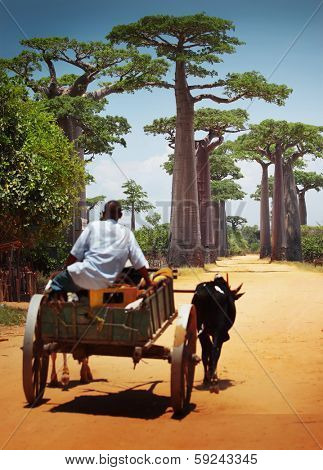Zebu cart on a dry road leading through baobab alley. Madagascar. Focus on trees, cart is blurred