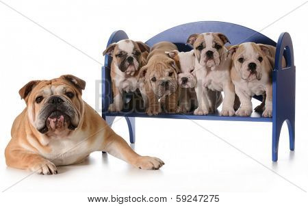 dog family - english bulldog father with five puppies sitting on a bench isolated on white background