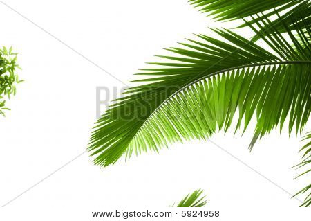 Leaves Of Palm Tree