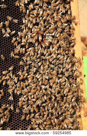 Amazing views of Real Honey Bees swarming on their Comb doing what bees do naturally. This image shows the Queen Bee circled in red as her drones or workers work around her making honey