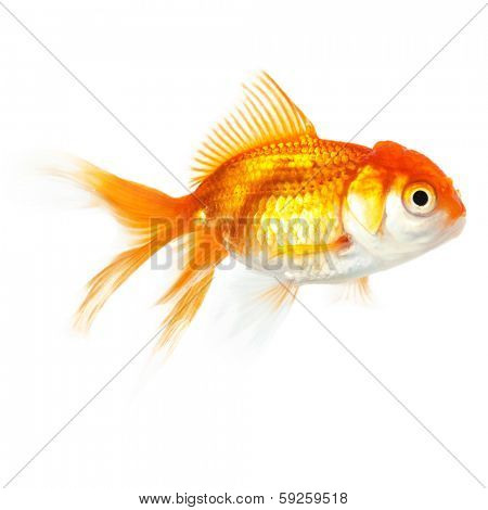 Close up of swimming goldfish, isolated. Concept of wish fulfilment and natural beauty