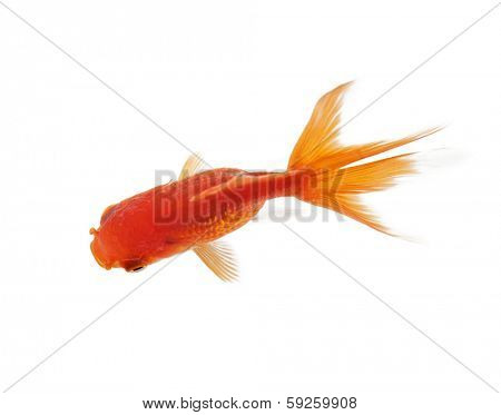 Close up of shiny fish swimming in fishbowl, isolated on white. Concept of wild nature and environment