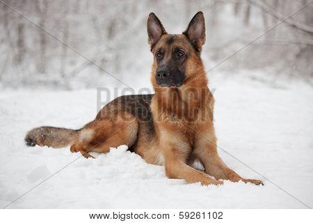 Beautiful Shepherd Lying On The Snow
