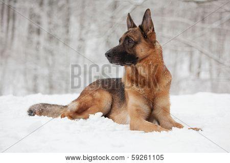 Beautiful Shepherd Lying On The White Snow