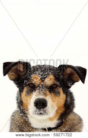 Portrait Of German Shepherd Dog In Snow