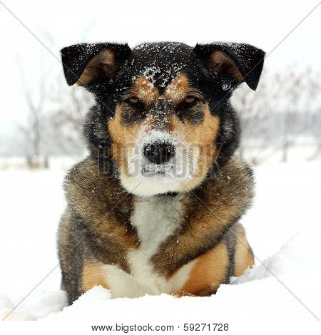 German Shepherd Dog Laying In Snow