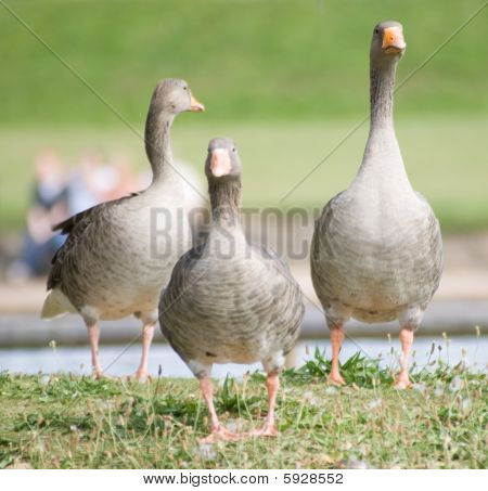 Geese By Lake