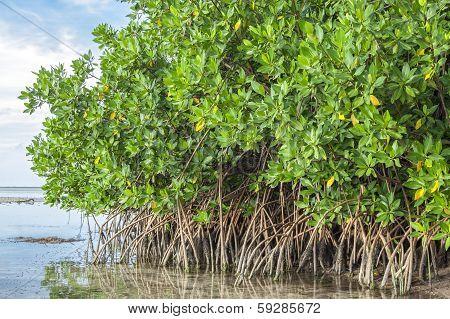 Mangroves In Lagoon