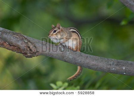Chipmunk on a branch