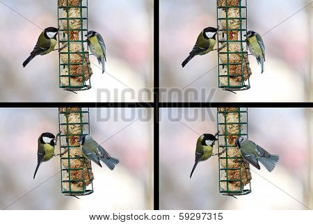 Conflict Between Blue And Great Tit