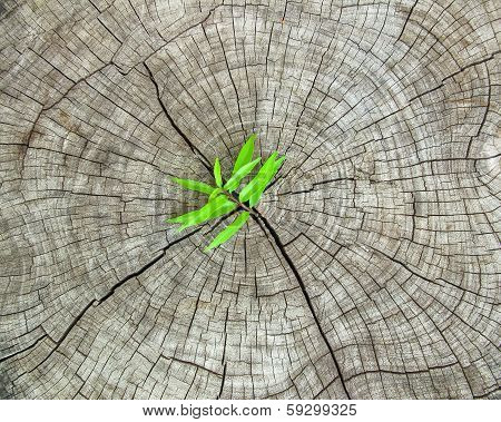 Fresh Green Grass Growth Over On Crack Wooden Background