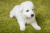 pic of swiss shepherd dog  - Baby swiss shepherd sitting on green carpet - JPG