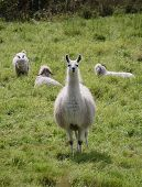 image of lamas  - white lama standing on green meadow background - JPG