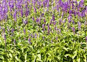 foto of salvia  - Meadow with blooming Blue Salvia herbal flowers - JPG