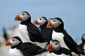 Beautiful Puffins with a Bright Blue Sky