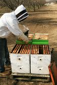 stock photo of honey bee hive  - Genuine Unidentifiable Bee Keepers inspect their Bee Hives and their Bees to make sure they are healthy and doing their job of pollinating plants and making honey - JPG