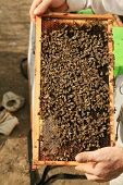 foto of swarm  - Amazing views of Real Honey Bees swarming on their Comb doing what bees do naturally - JPG