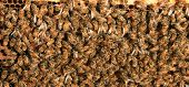 foto of bee keeping  - Amazing views of Real Honey Bees swarming on their Comb doing what bees do naturally - JPG