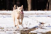 picture of border terrier  - Running Mutt of border terrier on snow