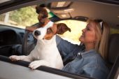 stock photo of road trip  - Jack Russell Terrier Dog Enjoying a Car Ride - JPG