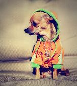 a chihuahua with a hoodie and jewelry on done with a vintage retro instagram filter