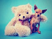 stock photo of chihuahua mix  - a teddy bear with his arm around a tiny chihuahua done with a vintage retro instagram filter - JPG