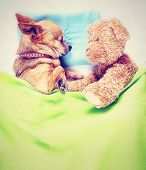 image of chihuahua mix  - a cute chihuahua sleeping next to a teddy bear done with a vintage retro instagram filter - JPG