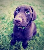 stock photo of chocolate lab  - a cute chocolate lab puppy sitting in the grass done with a vintage retro instagram filter - JPG
