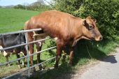 picture of dairy cattle  - a dairy cow is hanging over the gate of its field having tried to jump over - JPG