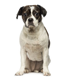 stock photo of saddening  - Front view of a Crossbreed dog sitting - JPG