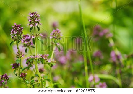 Thymus flowers