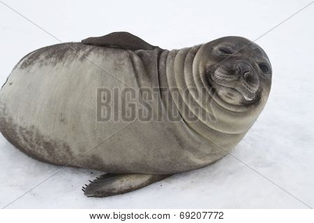 Young Southern Elephant Seal That Looks Squinting One Eye