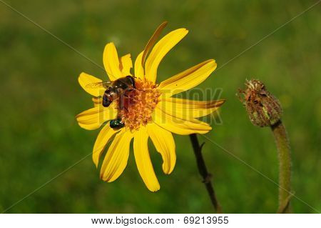 Arnica Montana With Bee