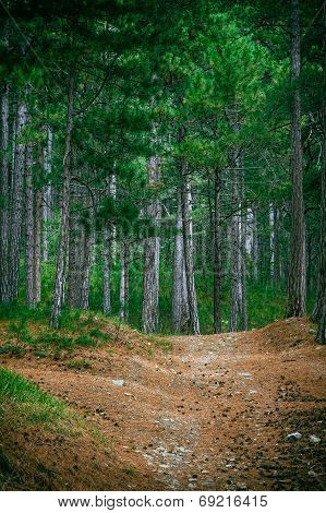 Coniferous Deep Forest And Road Beautiful Green Summer Landscape