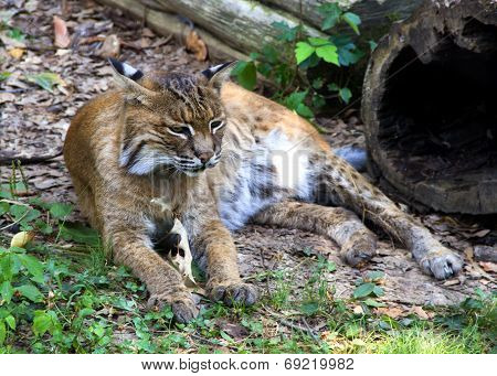 Bobcat Resting In Grass