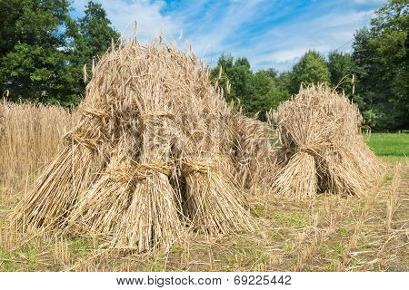 Sheaves of rye standing at cornfield