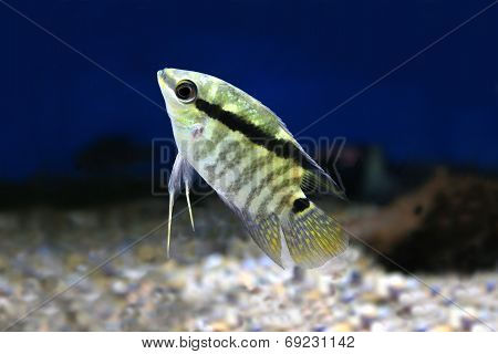 Festivum Cichlid Fish Festive Cichlid, Barred Cichlid Mesonauta festivus