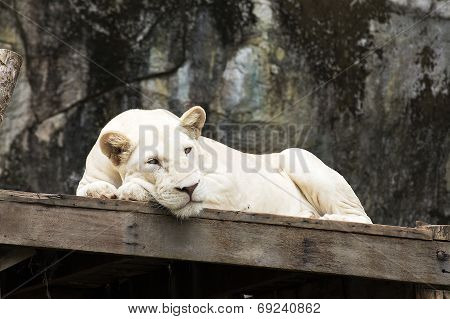 White Lion Asleep