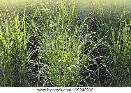 switchgrass ( panicum virgatum )