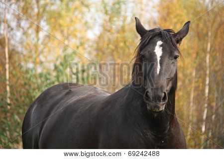 Portrait Of Black Percheron In Autumn