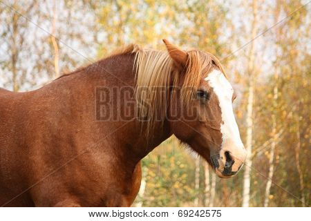 Palomino Percheron Portrait In Autumn