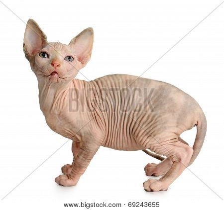 The Canadian Sphynx Isolated On White Background