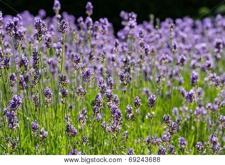 Purple Flowering Lavender