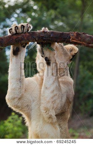 Liones sharpning her nails