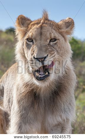 Lioness licking her lips