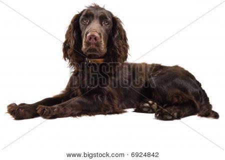 Brown Cocker Spaniel Dog Looking