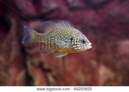 A Pumpkinseed Sunfish Or Common Sunfish