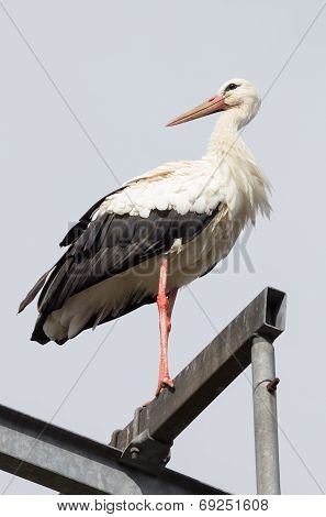 Stork Resting Up High Looking Into The Distance
